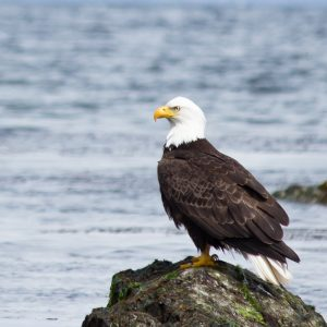 Bald Eagle Sitting on a rock by the beach | Vancouver Island Lifestyle